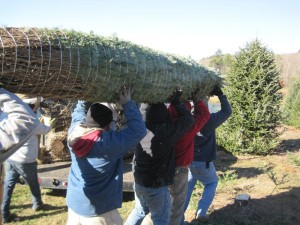 people carrying a harvested Fraser fir tree