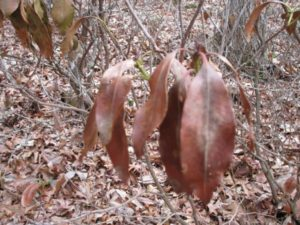 Cover photo for Dead Leaves on Native Rhododendrons