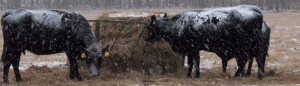 Cover photo for Managing Malnourished Beef Cattle for the Coming Winter