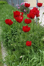 Cover photo for World War I Memorial and 4-H Poppy Seed Sale