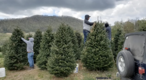 Christmas tree farm in Jackson County, NC